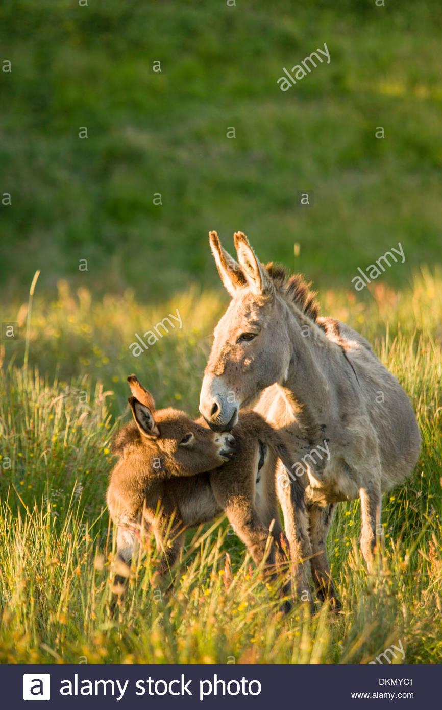 Donkey, Western Ireland - Stock Image