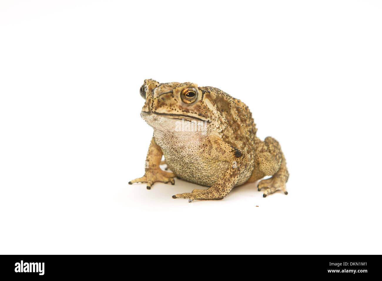 Toad Isolated - Stock Image