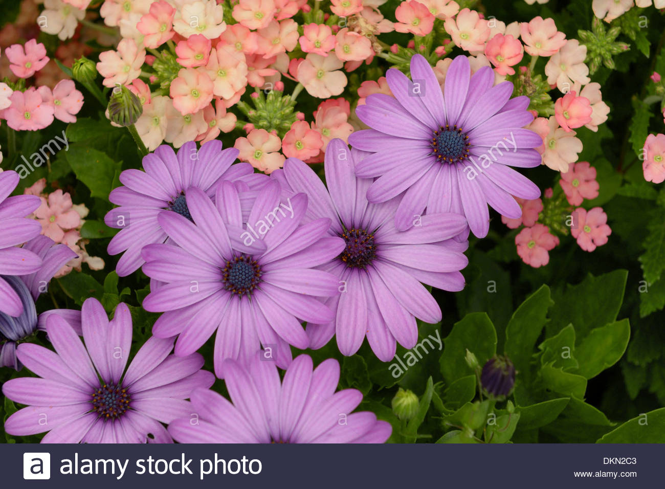 Daisy like composite flowers stock photos daisy like composite a collection of african daisies also known as sunflower daisy or by its scientific name izmirmasajfo