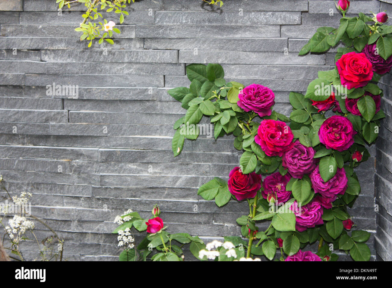 Pink rose plant against stone wall Stock Photo