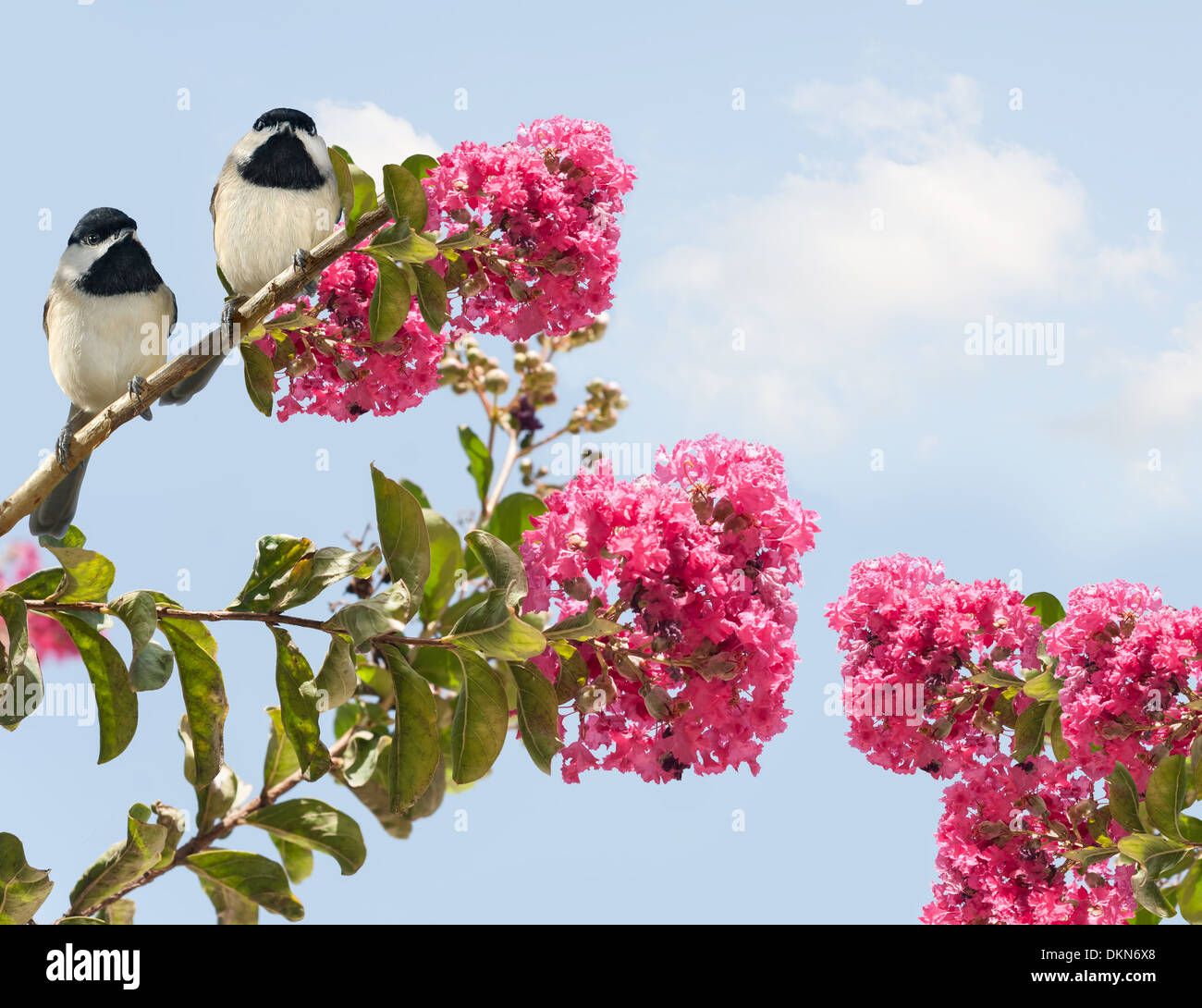 Two Chickadees in a Crape Myrtle Tree - Stock Image