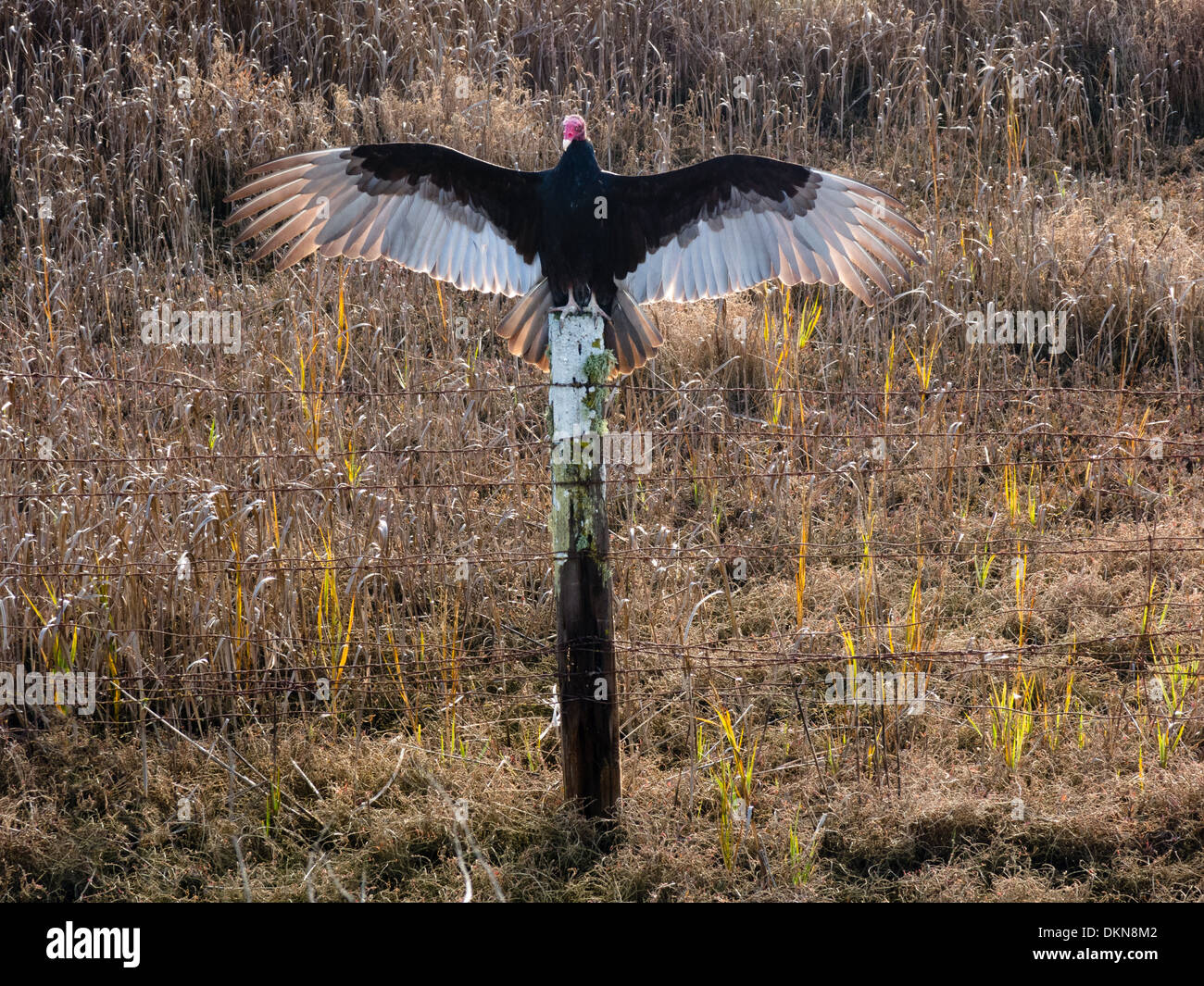 Turkey Vulture (Cathartes aura) sitting on fence post spreading its wings to warm itself in the morning. - Stock Image