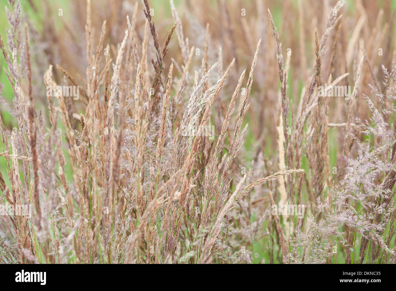 Holcus lanatus, or Yorkshire fog, or creeping velvetgrass, UK Stock Photo