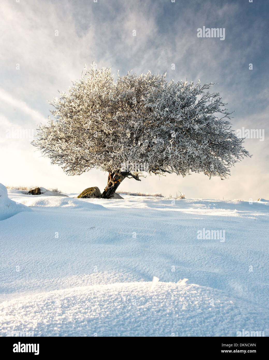 Lone tree after heavy frost and snowfall. Stock Photo