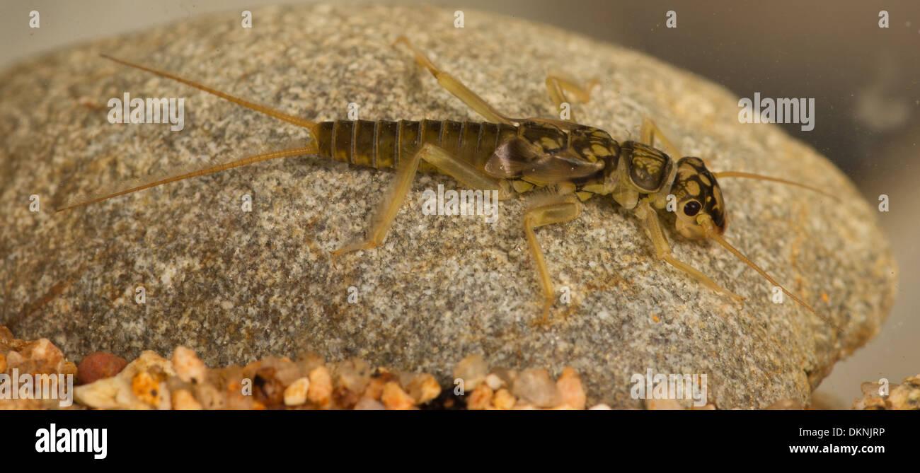 Stonefly nymph Perlodes mortoni - Stock Image