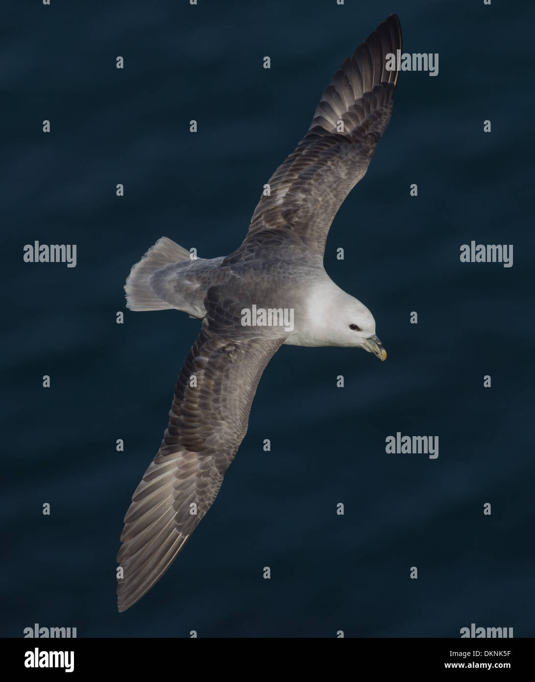 Fulmar in flight at Troupe Head RSPB - Stock Image