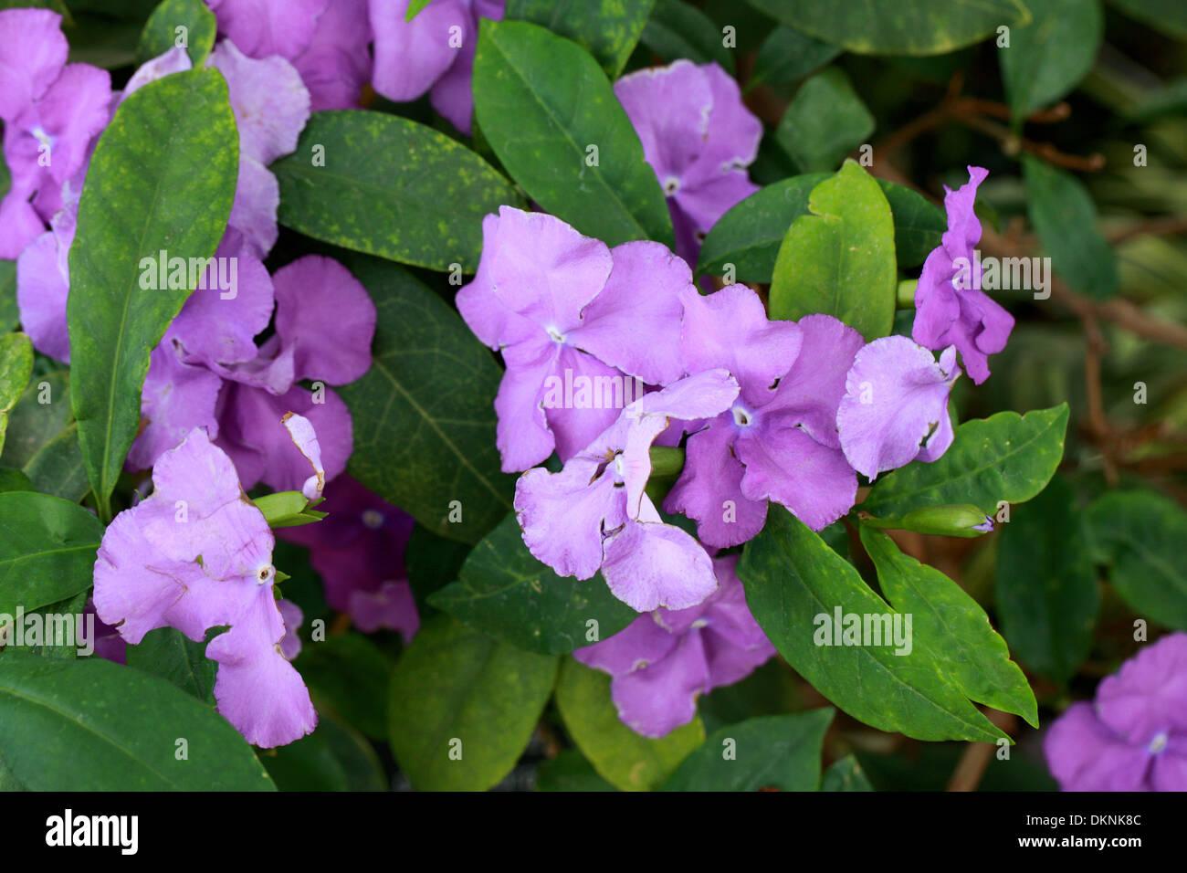 Yesterday, Today and Tomorrow Plant, Brunfelsia pauciflora 'Macrantha', Solanaceae. - Stock Image