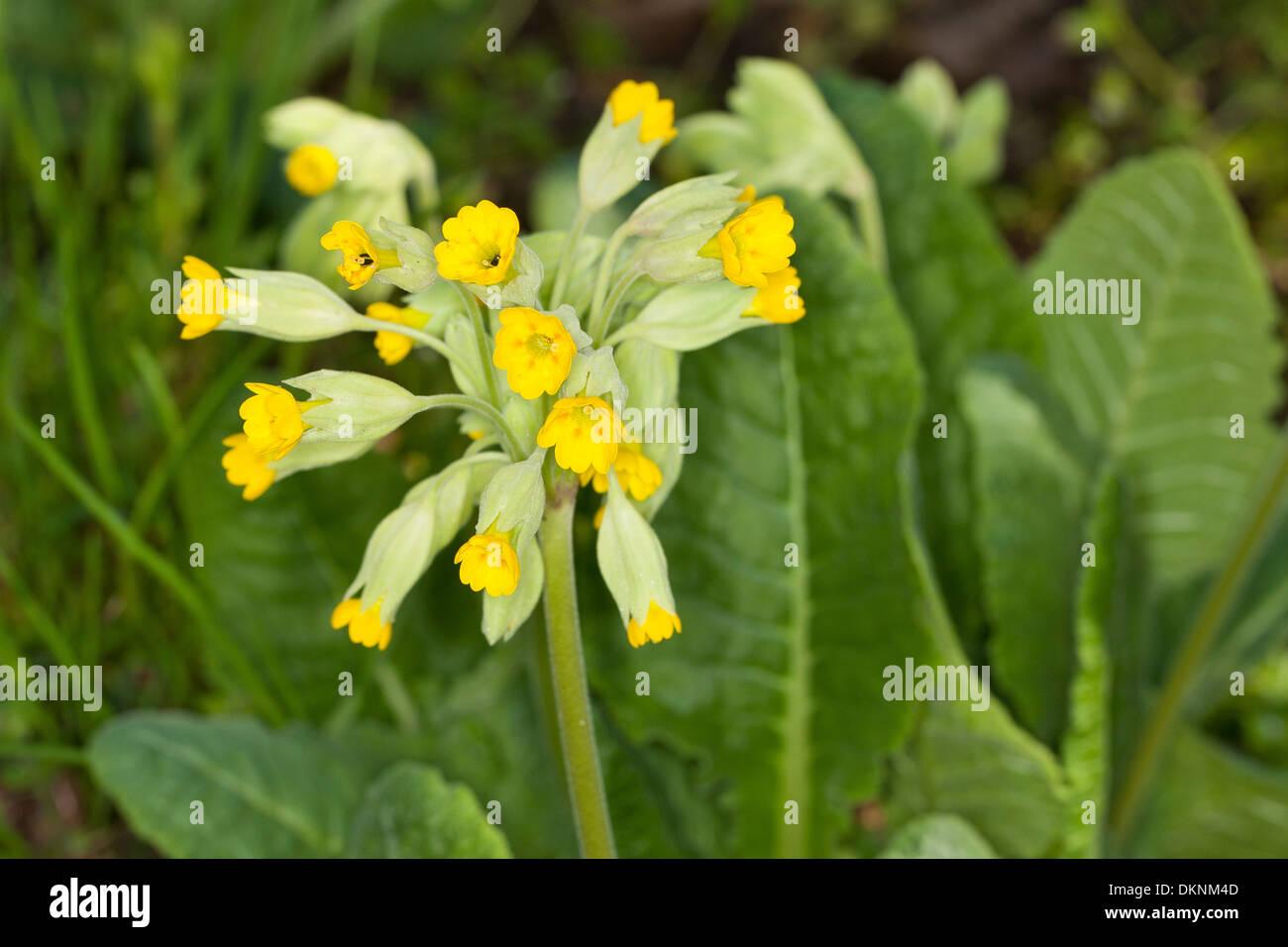 Cowslip, key flower, key of heaven, fairy cups, Echte Schlüsselblume, Wiesen-Schlüsselblume, Primel, Primula veris - Stock Image