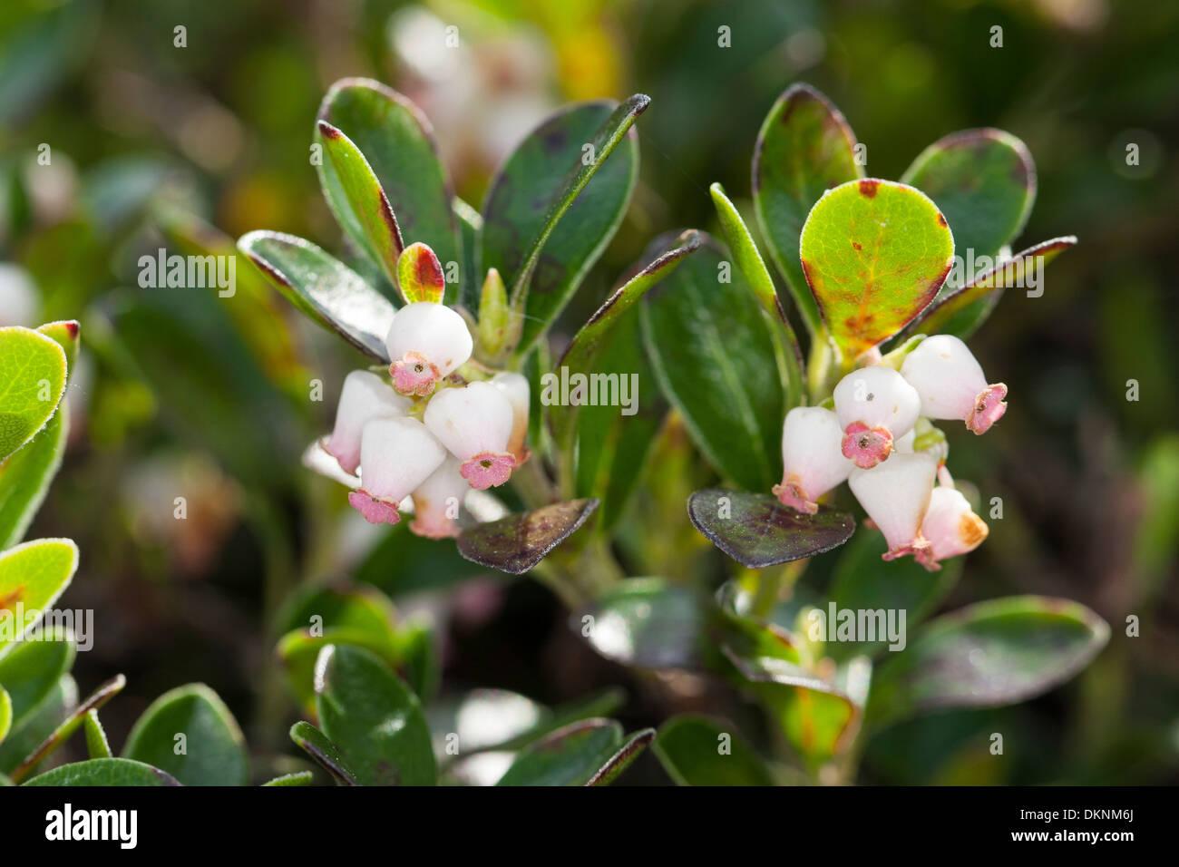Bearberry, Mountain Cranberry, Echte Bärentraube, Immergrüne Bärentraube, Arctostaphylos uva-ursi, Busserolle, Raisin d´ours - Stock Image