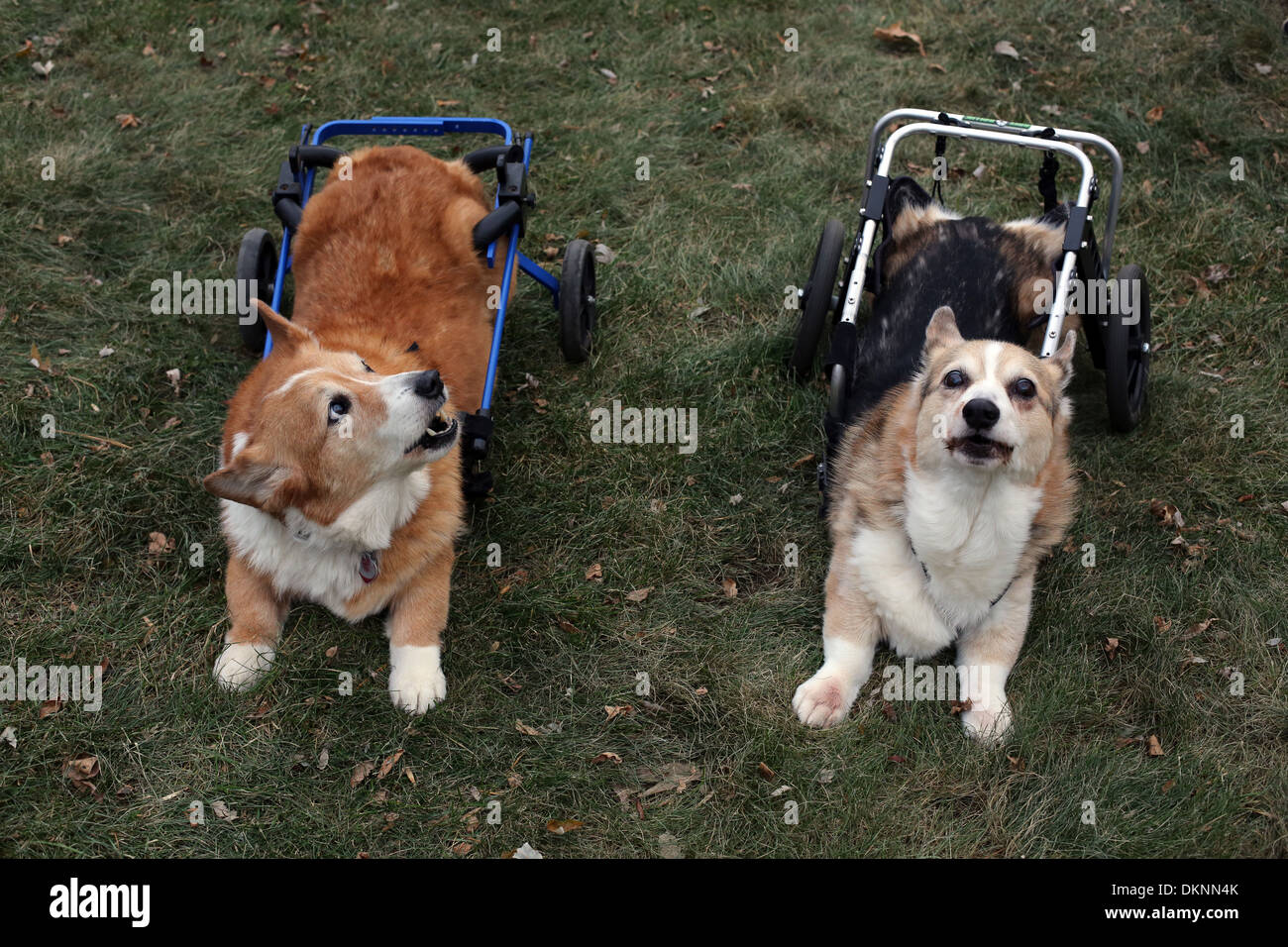 Two old Corgi dogs with carts. - Stock Image