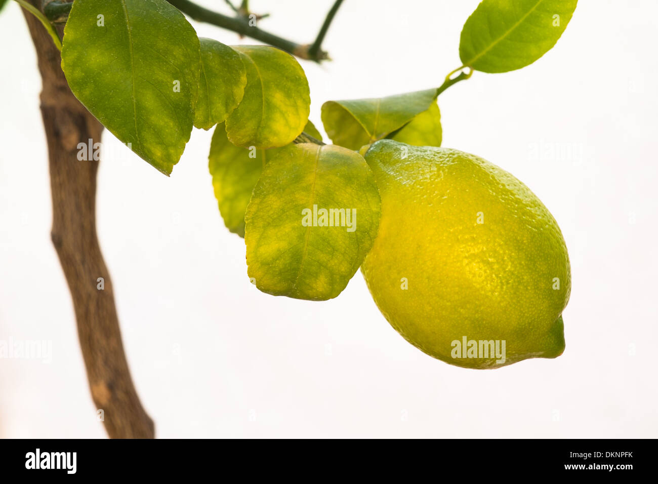 Close Up of a Lemon on a Tree with a Neutral Background. - Stock Image