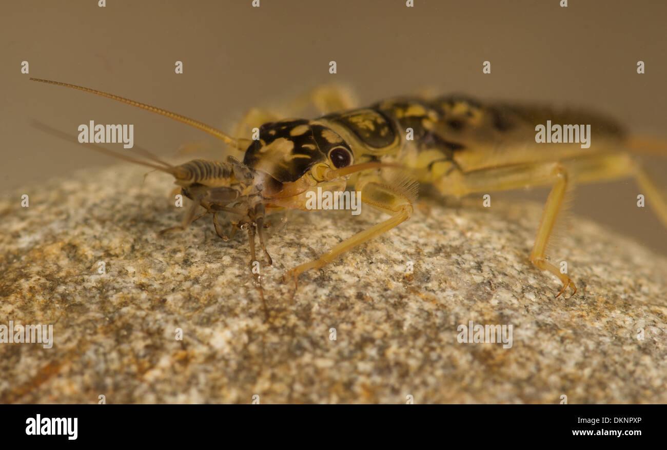 Orange striped Stonefly Perlodes mortoni  nymph - Stock Image