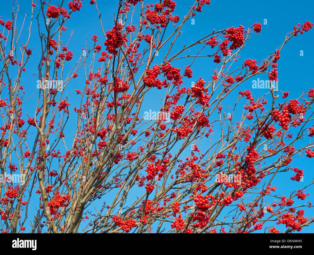 Berries on Rowan tree or Mountain Ash  ( Sorbus  Rosaceae) Sunderland, north east England UK - Stock Image