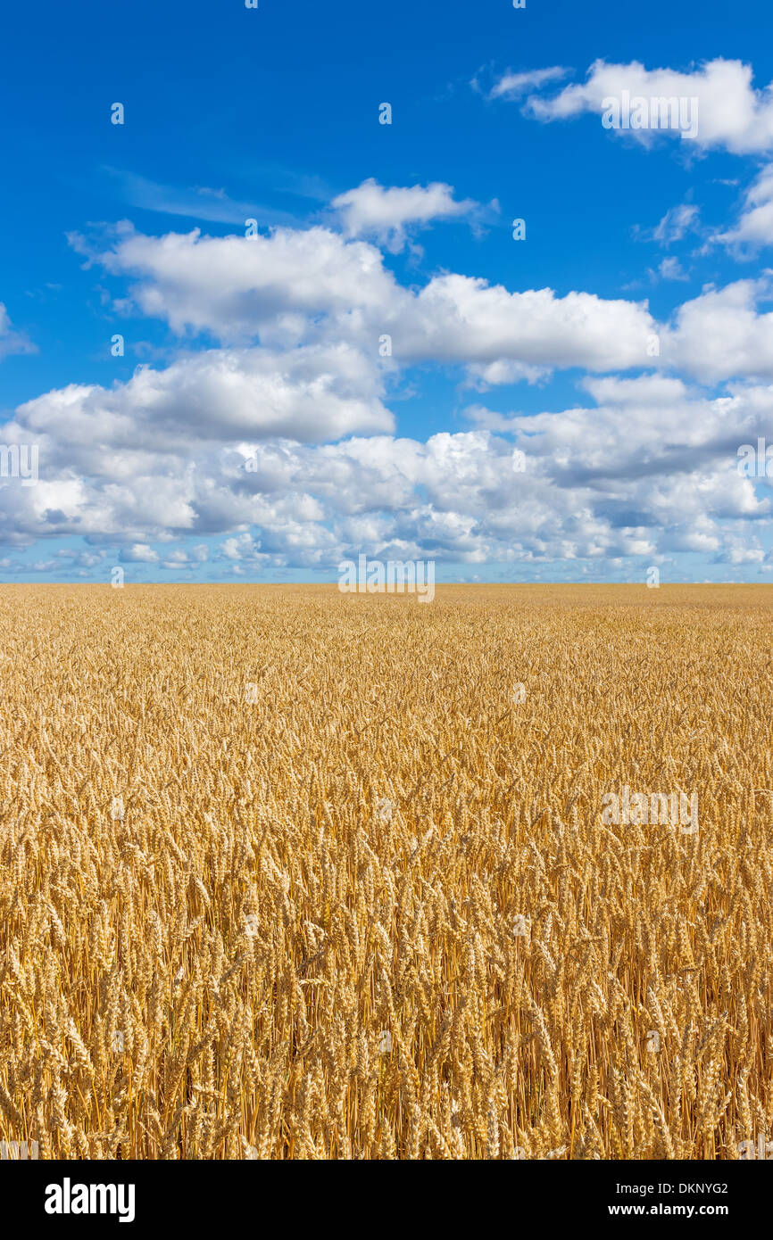 Rural landscape. Golden wheat field under blue sky with clouds.  - Stock Image