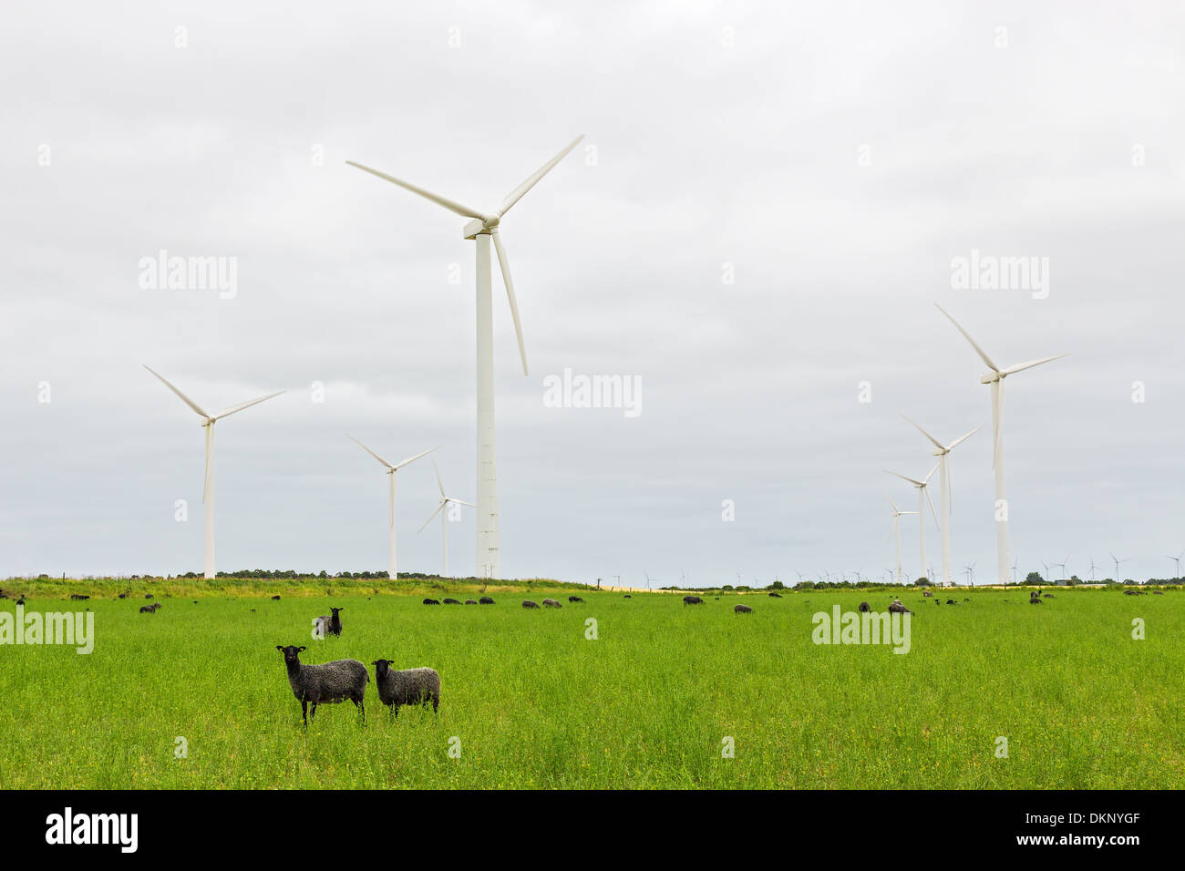 Wind turbines and sheep on green pasture. Gotland, Sweden. - Stock Image