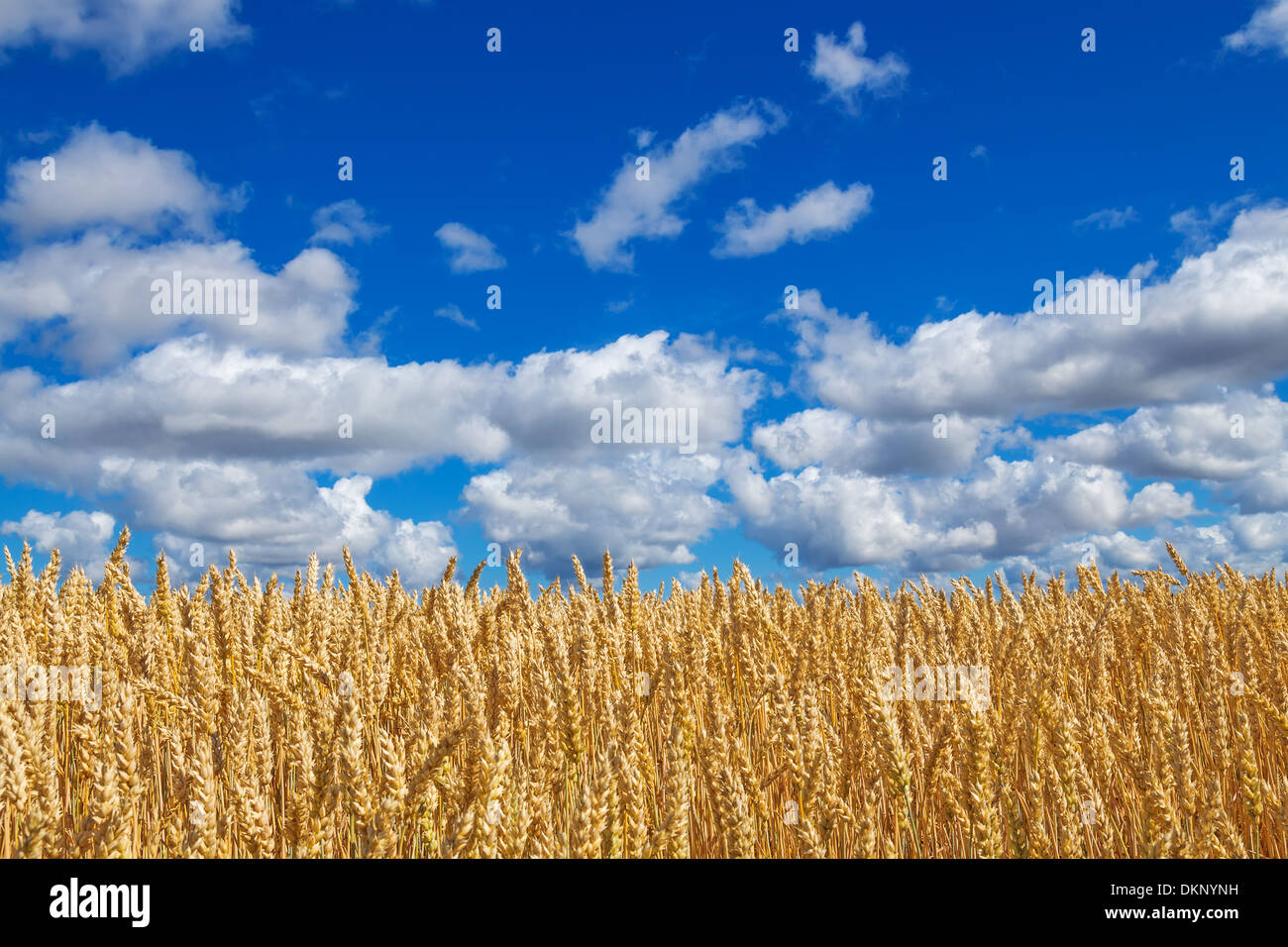 Close-up of golden wheat field, under blue sky with clouds.  - Stock Image