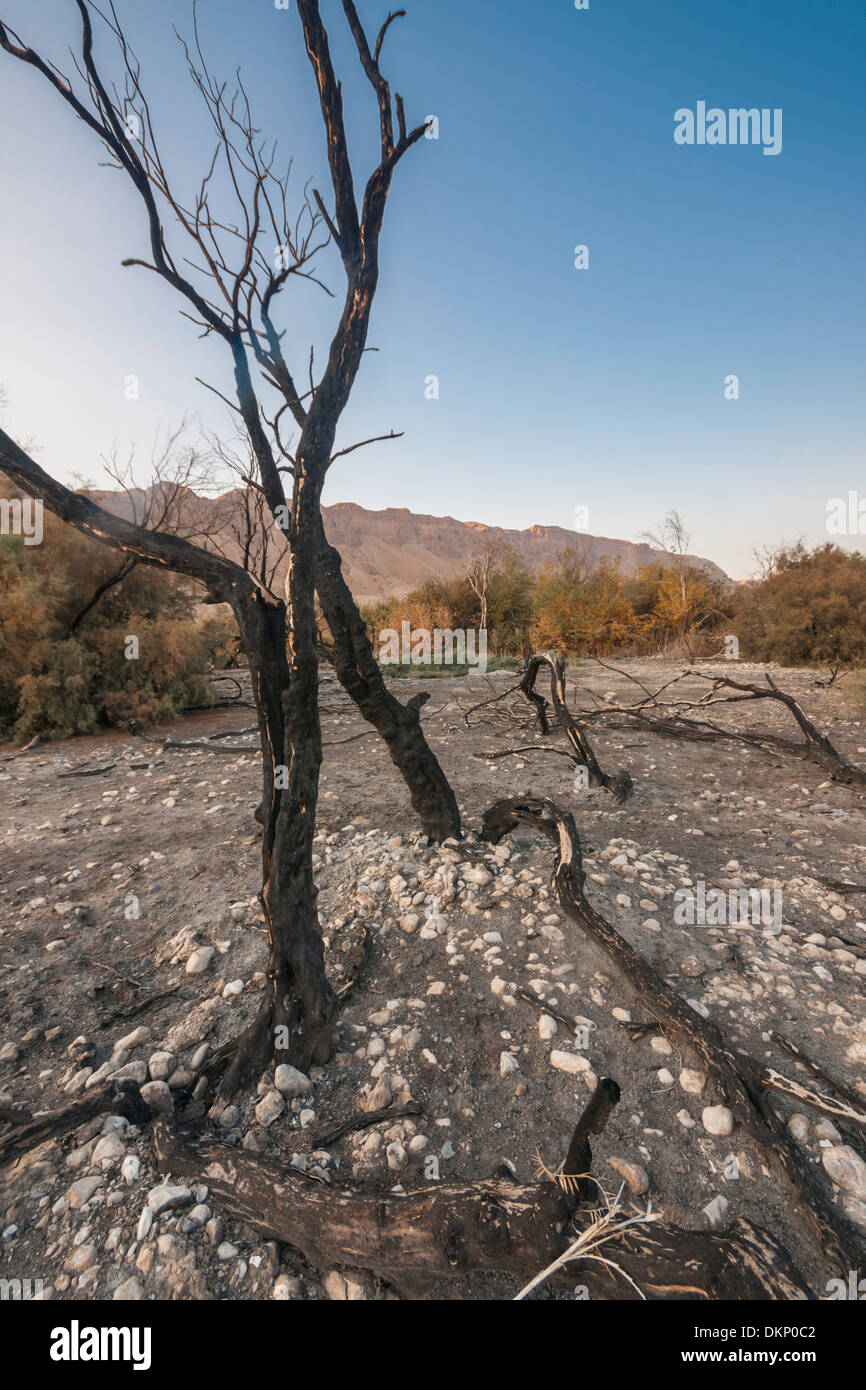 Israel. burned trees in Ein Bokek, the lowest nature reserve on earth near the dead sea, slightly before sunset. - Stock Image
