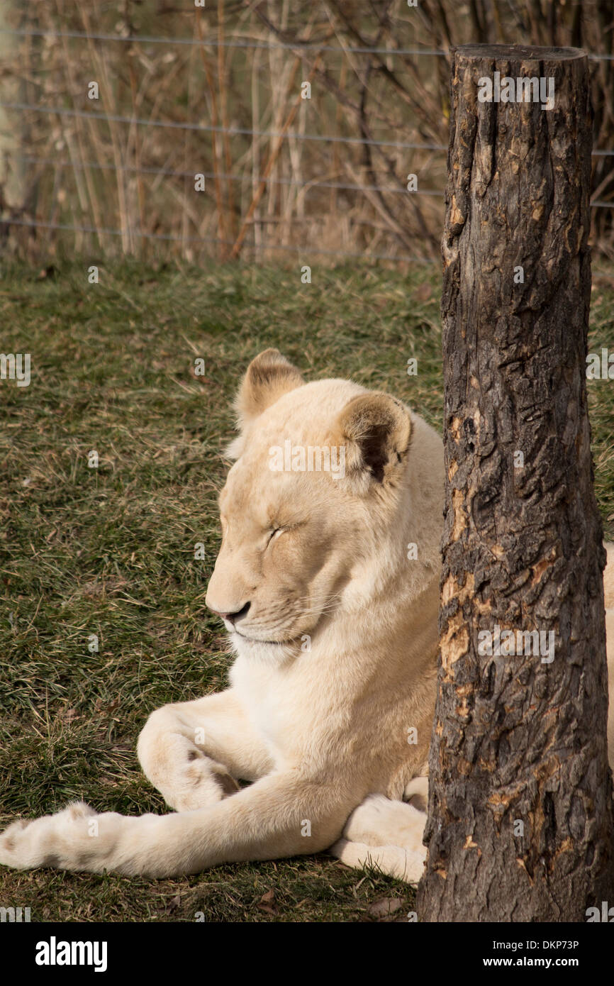 Panthera leo krugeri White lioness sleeping in sun next to a tree at Toronto Zoo - Stock Image