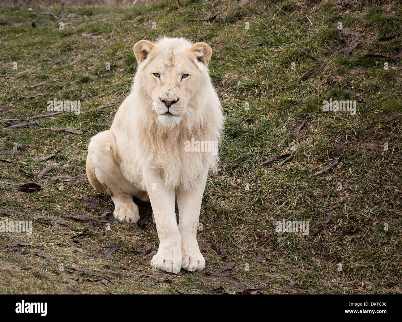 Panthera leo krugeri Male white lion looking up at the camera at the Toronto Zoo - Stock Image