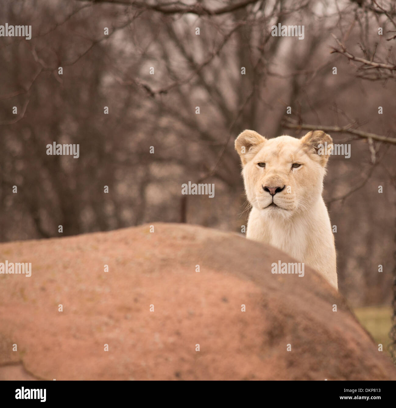 Panthera leo krugeri  White lion cub peers over a rock at the Toronto Zoo - Stock Image