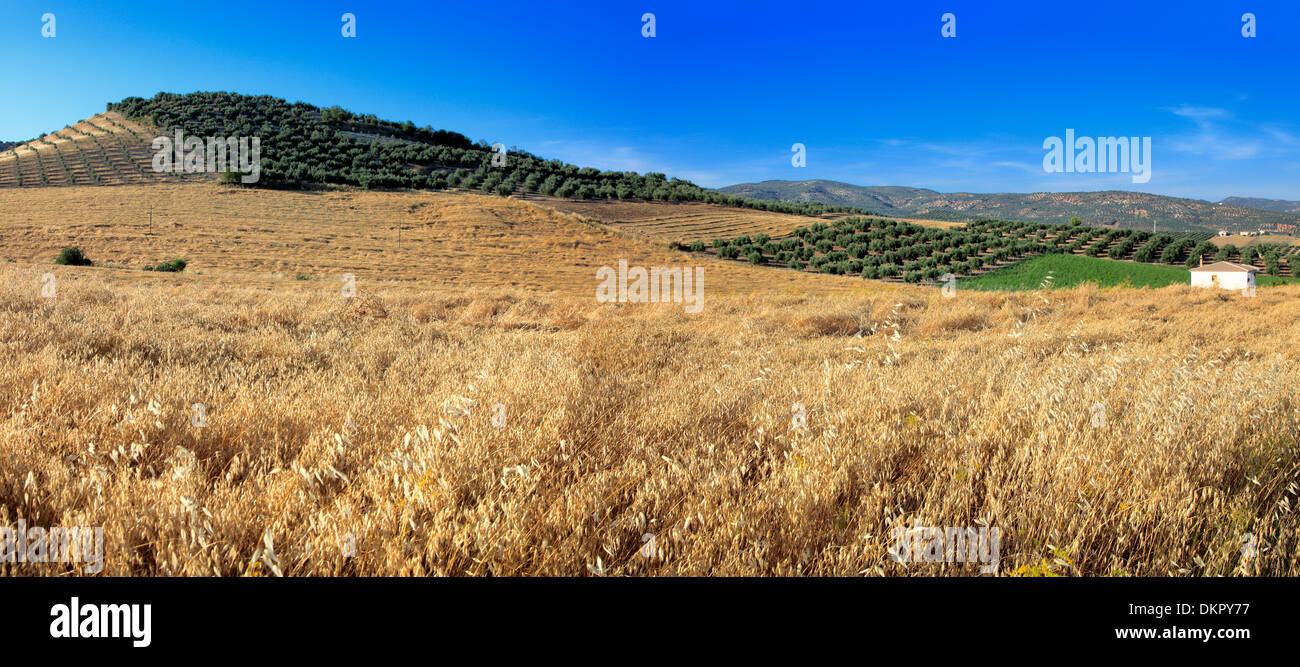 Wheat field, Andalusia, Spain - Stock Image