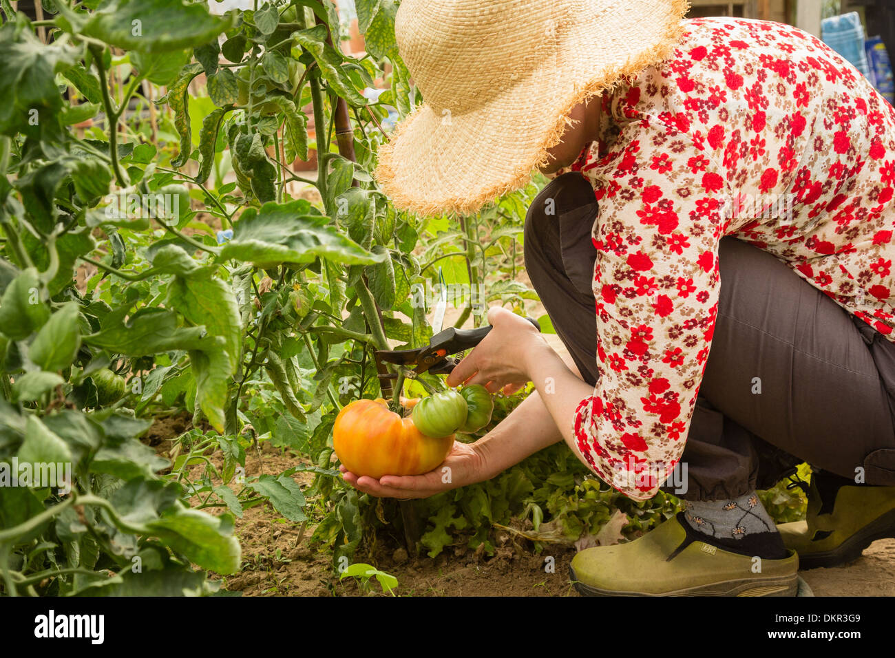 picking of a big tomato // récolte d'une grosse tomate - Stock Image