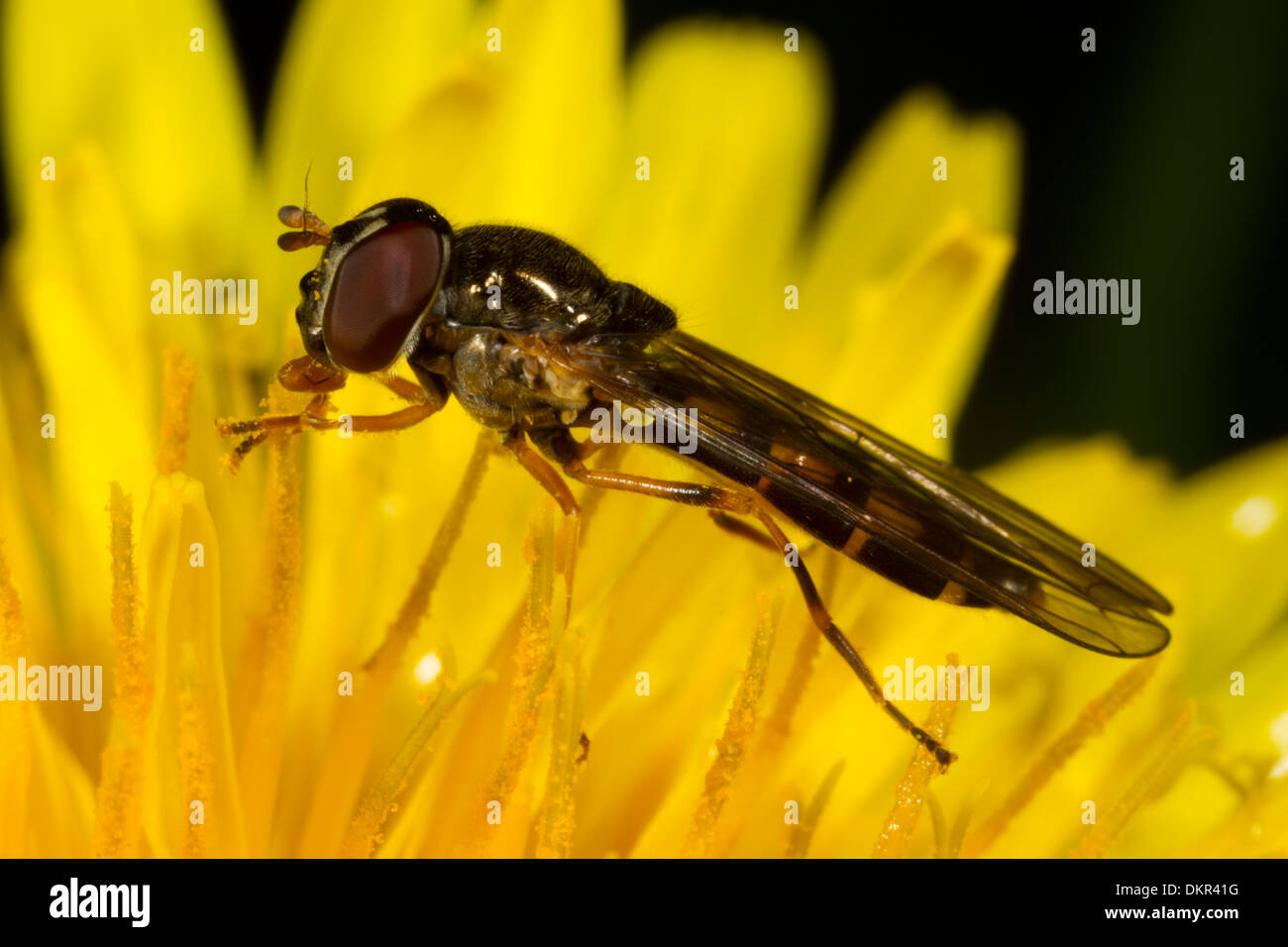 Chequered Hoverfly (Melanostoma scalare) female in an dandelion flower. Powys, Wales. May. - Stock Image
