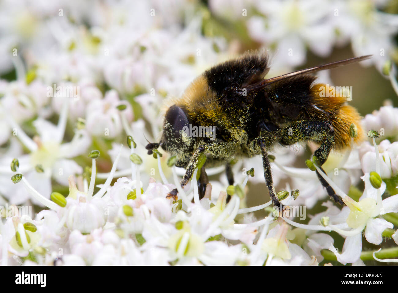 Narcissus Bulb Fly Hoverfly (Merodon equestris) feeding on hogweed flowers. Hampshire, England. June. Stock Photo