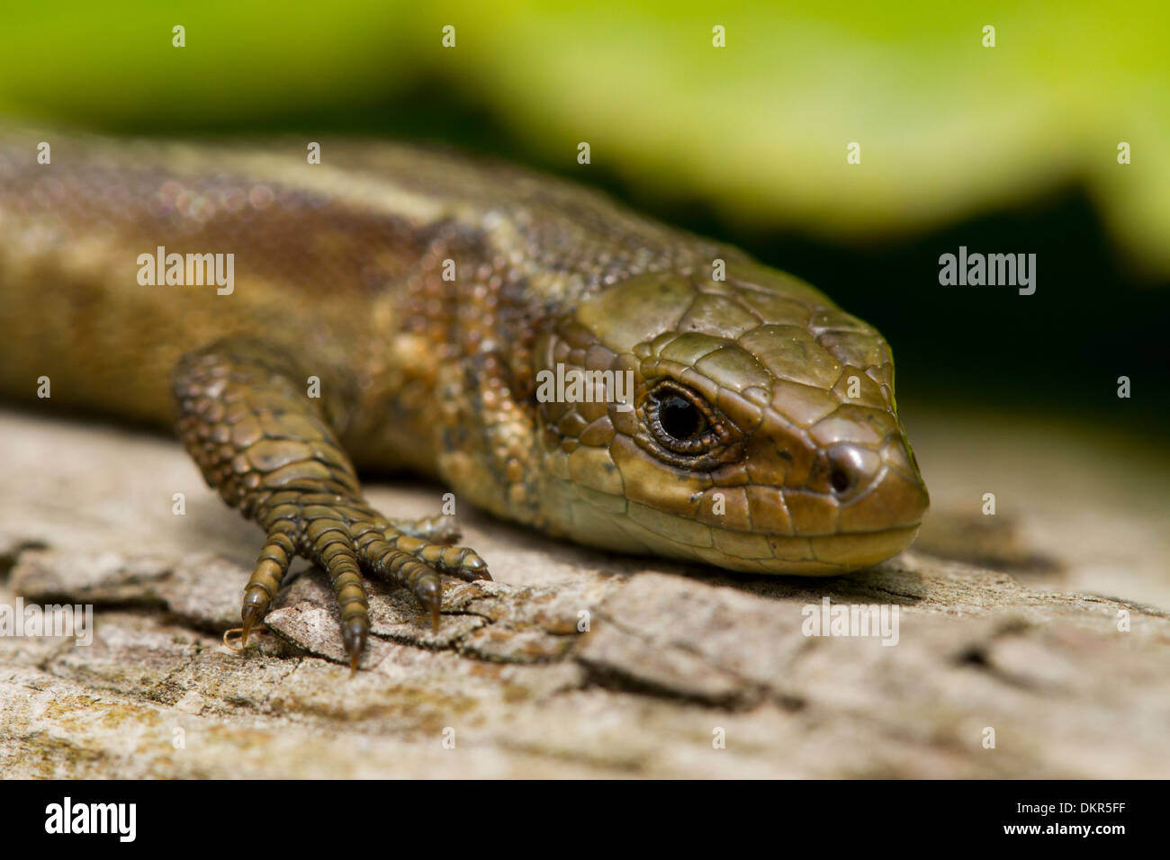 Common or Viviparous Lizard (Zootoca vivipara) close-up of the head of an adult female basking on a log. Sussex, England. June. Stock Photo