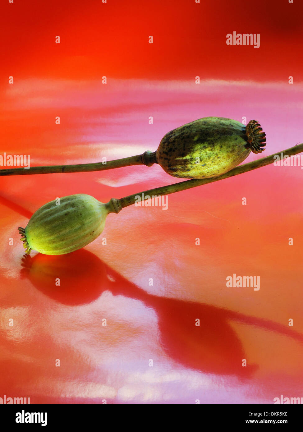 Flowers, plants, poppy, capsules, capsules, two, red, reflection Stock Photo