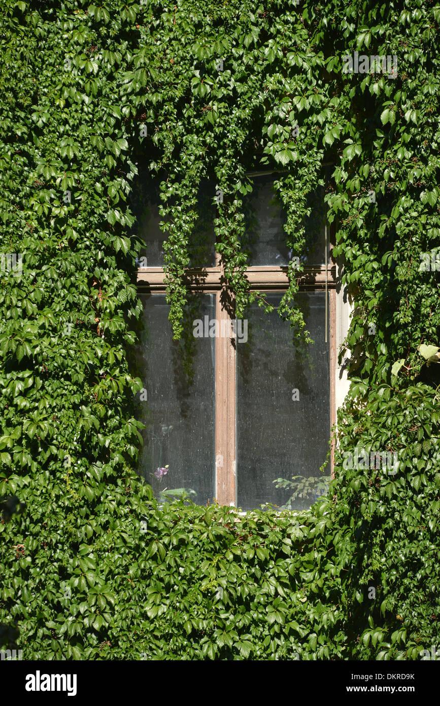 Fassadenbegruenung, Immanuelkirchstrasse, Prenzlauer Berg, Berlin, Deutschland / Fassadenbegrünung Stock Photo