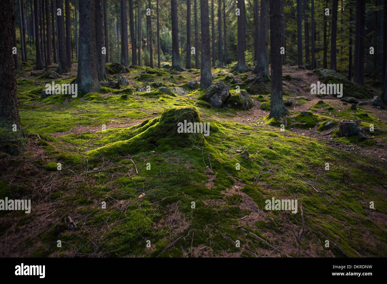 Mossy tree stump, Bavarian Forest, Bavaria, Germany - Stock Image