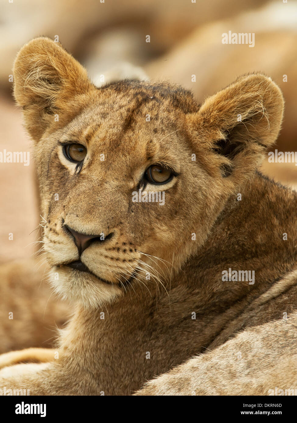 Lion, big 5, Panthera Leo, - Stock Image