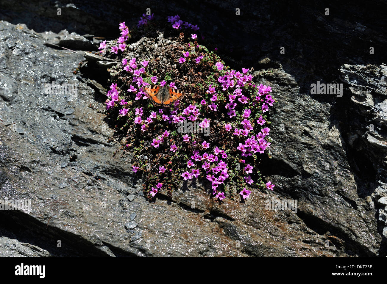 Small Tortoiseshell Aglais utriceae Nymphalidae butterfly insect animal Purple Saxifrage Saxifrage Saxifraga oppositifolia - Stock Image