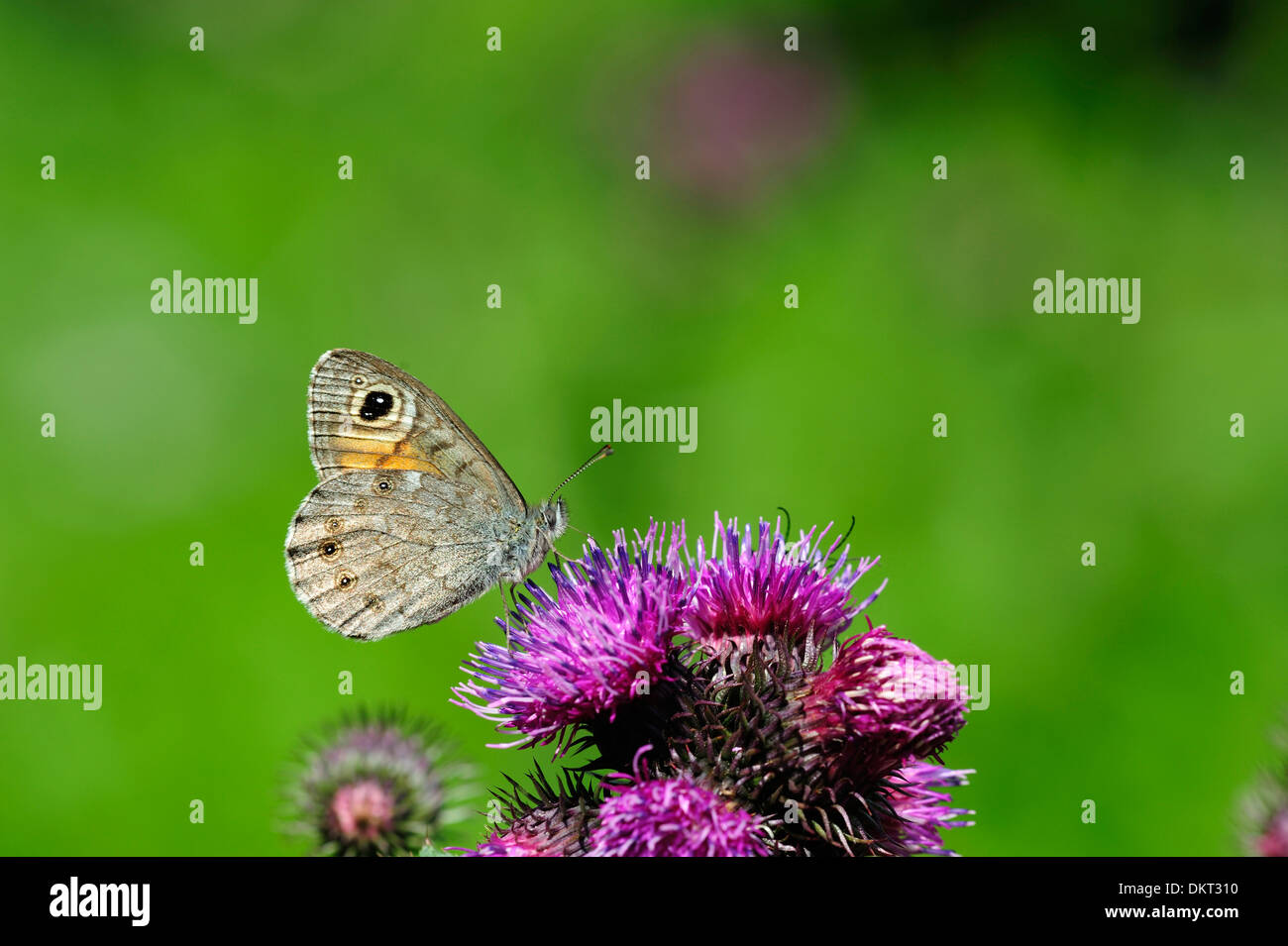 Large Wall Brown, Lasiomata maera, Satyridae, male, butterfly, moth, animal, insect, Untervaz, Canton, Grisons, Switzerland - Stock Image