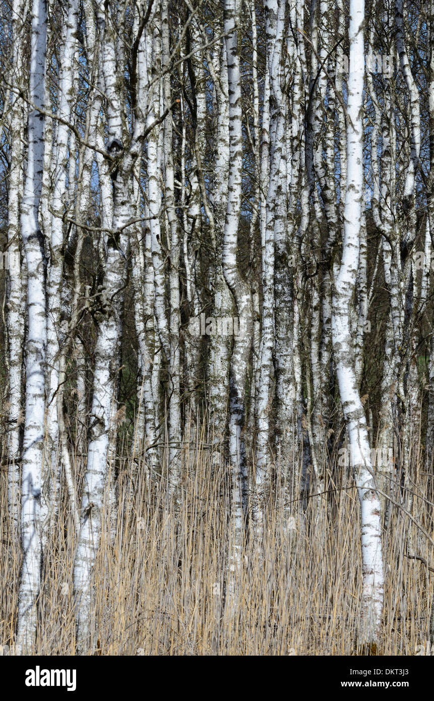 Birch-tree Betulaceae forest trunks details forest preserve moorland nature reserve Federsee Baden-Württemberg Germany Stock Photo