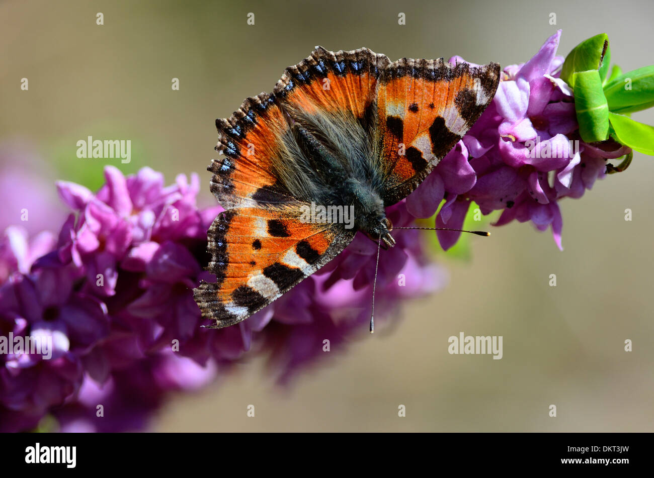 Small Tortoiseshell Aglais utriceae Nymphalidae butterfly insect animal on Mezereon Daphne mezereum Thymelaceae blossoms plant - Stock Image