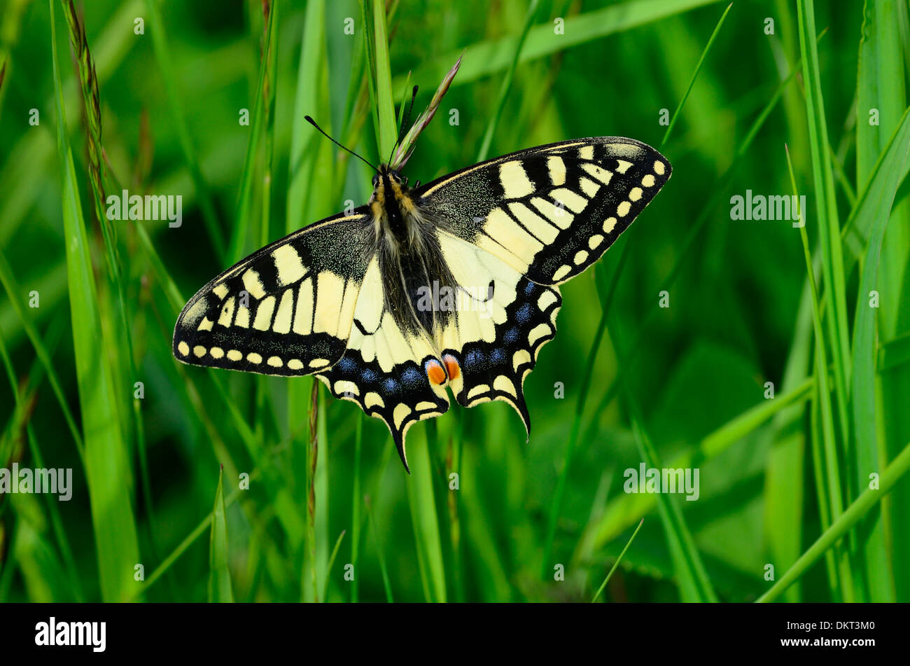 Old world Swallowtail Papilio machaon Papilionidae Swallotail butterfly insect animal Federsee Baden-Württemberg Germany - Stock Image