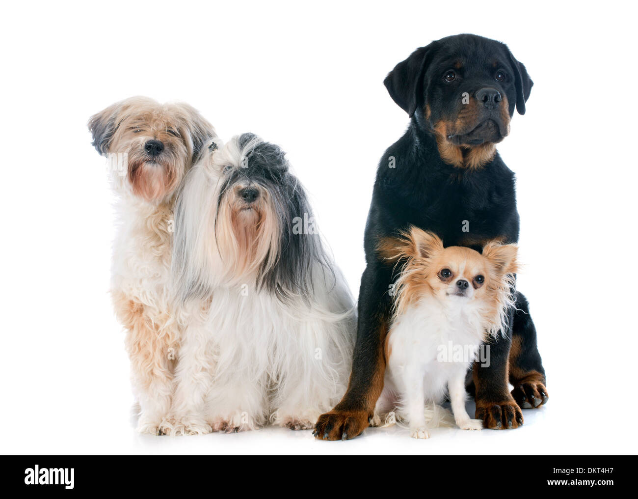 Black Long Hair Chihuahua Stock Photos Black Long Hair Chihuahua