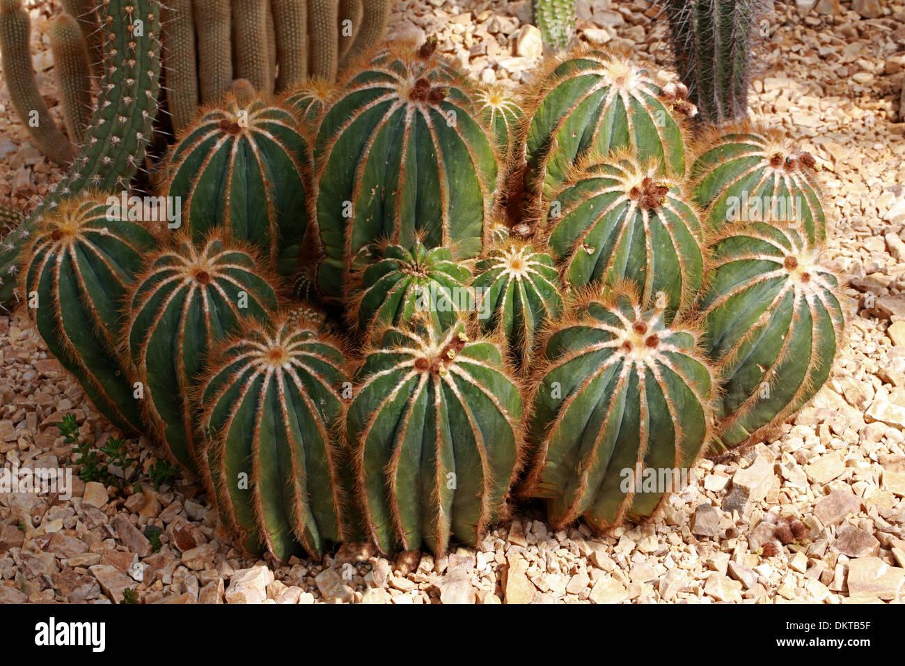 Cactus, Parodia magnifica, Cactaceae. Southern Brazil, Uruguay, South America. Stock Photo