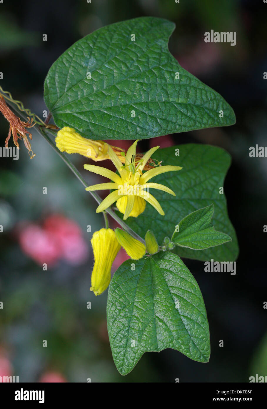 Citrus Yellow Passion Flower Passionflower Passion Vine Stock