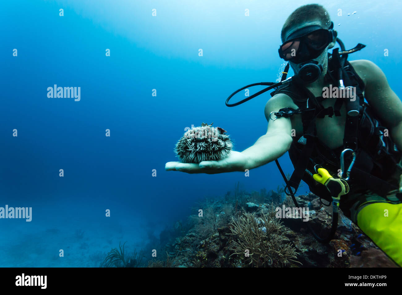 Scuba diver displays large sea urchin on hand while diving at coral reef in the Caribbean Sea off the coast of Belize - Stock Image
