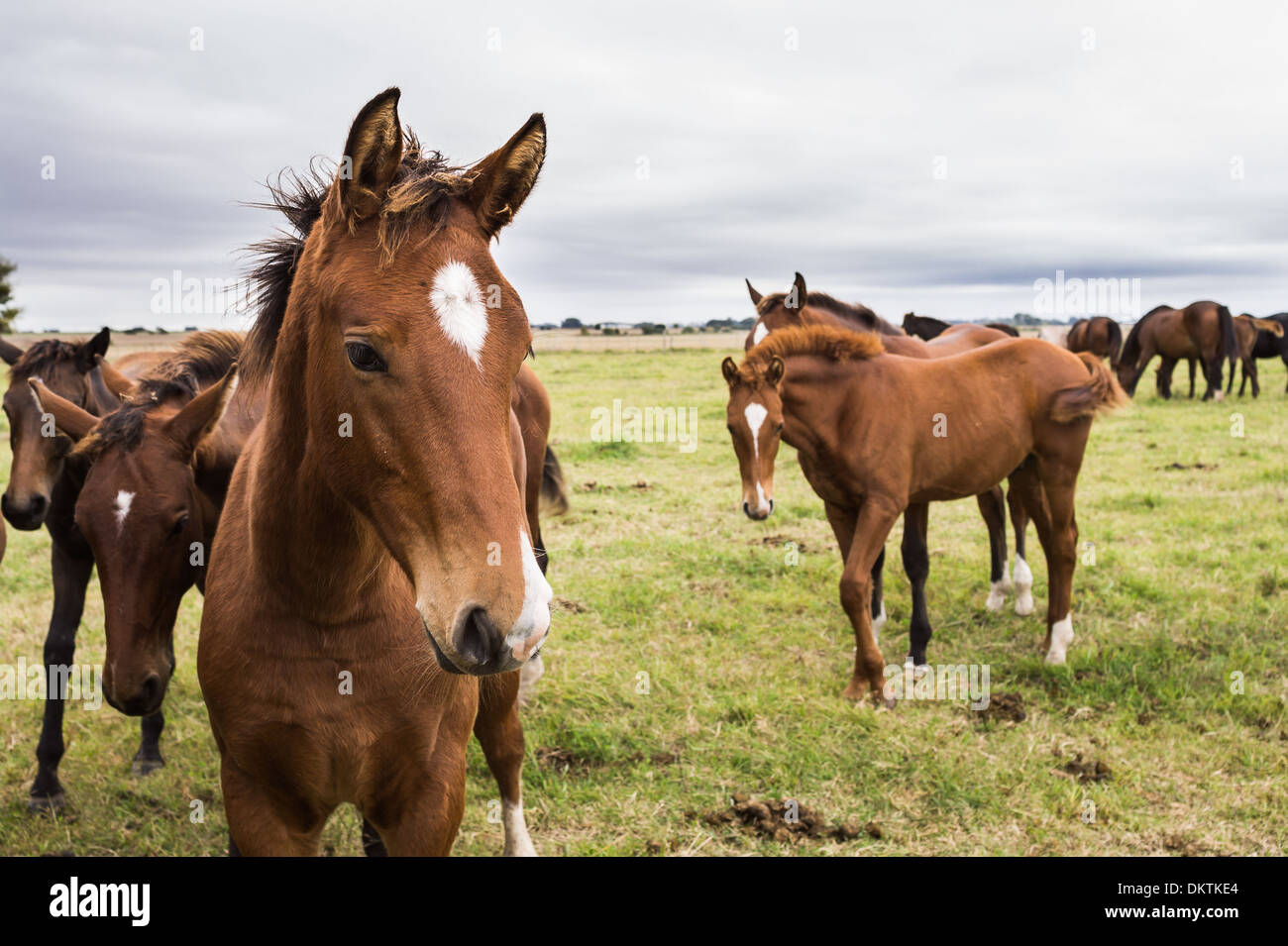 Raising horses for show jumping in the Pampa region of Argentina. - Stock Image