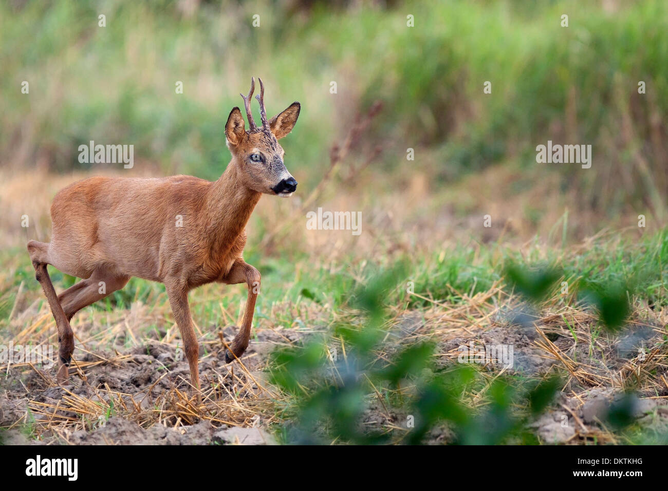 Walking roebuck in the wild, in a clearing. - Stock Image
