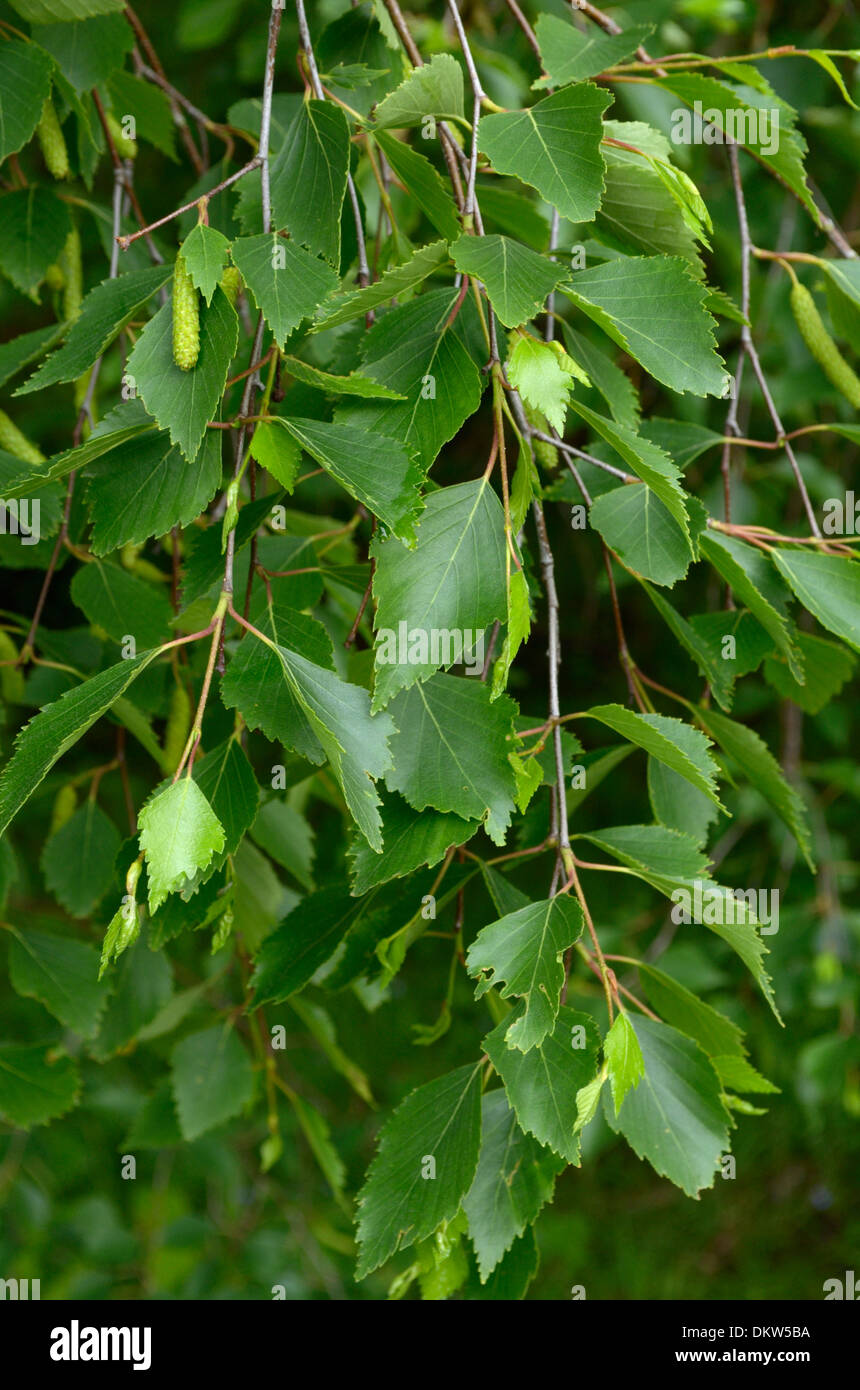 Betula Celtiberica or Iberian White Birch, leaves - Stock Image