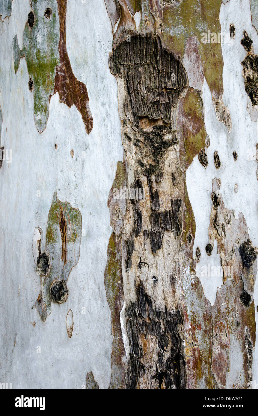 Eucalyptus bark background, tree in a forest. - Stock Image