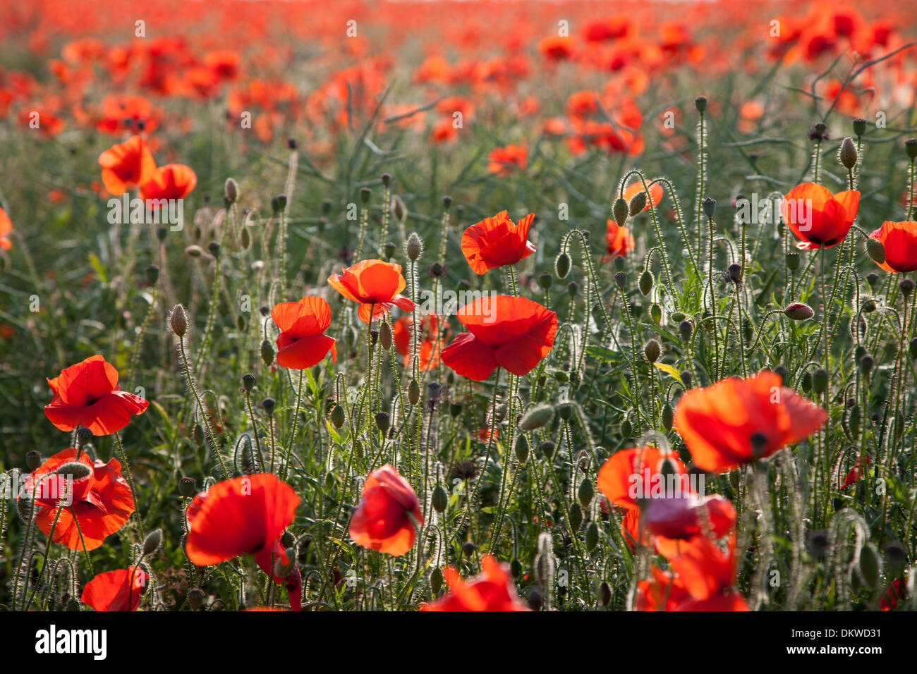 Field of poppies with the sun shining through them. - Stock Image