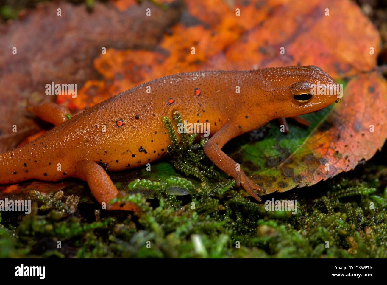 Red-spotted newt, Notophthalmus viridescens, Red eft (terrestrial phase), New York Stock Photo