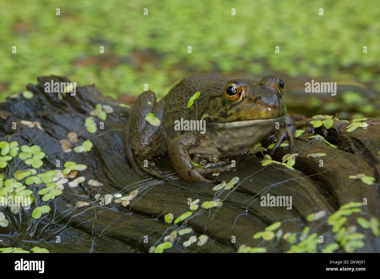American bullfrog (Lithobates catesbeianus), Rana catesbeiana Stock Photo