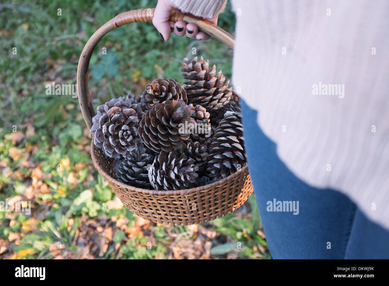 Collecting pine cones in forest - Stock Image
